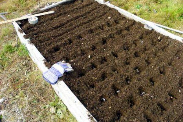 семена чеснока как сажать