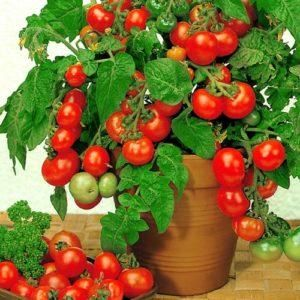 когда снимать пленку с рассады помидор