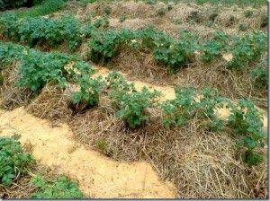 как сажать картошку под солому
