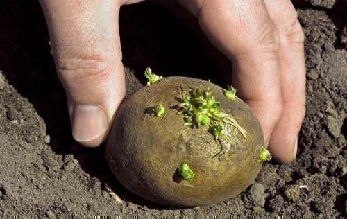 как сажать картошку расстояние между рядами