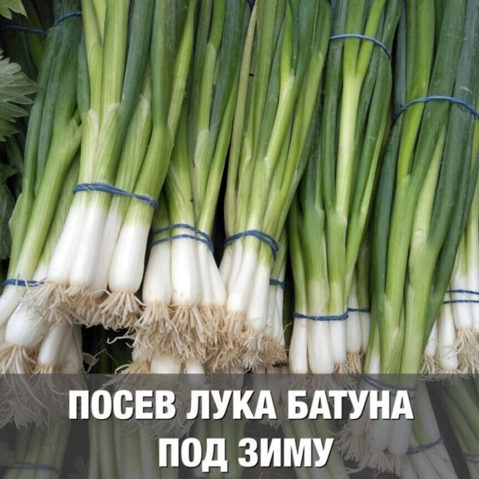 лук батун посадка семенами под зиму