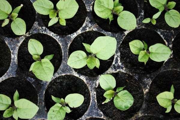 как посадить баклажаны на рассаду правильно