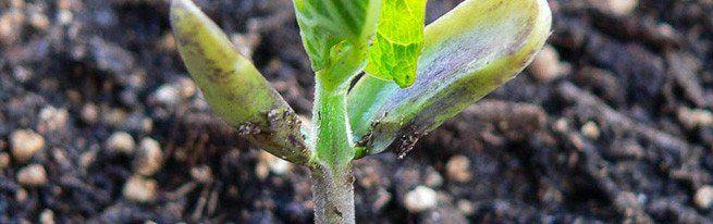 набухшие семена теплолюбивых культур огурцы помидоры кабачки