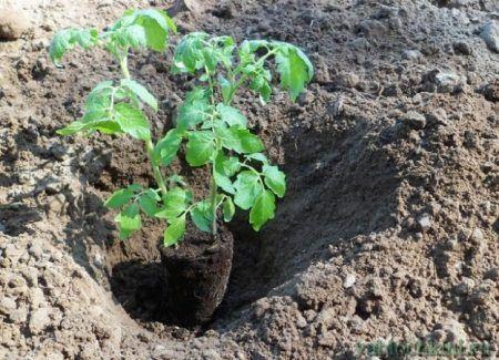 чем подкормить рассаду помидор после пересадки