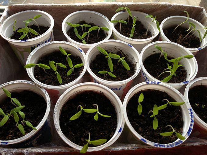 можно ли сеять рассаду помидор в апреле