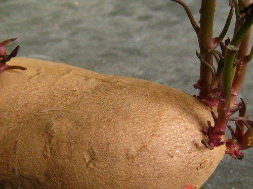 картошка под соломой как сажать