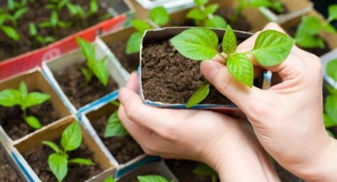 как посадить горький перец на рассаду правильно